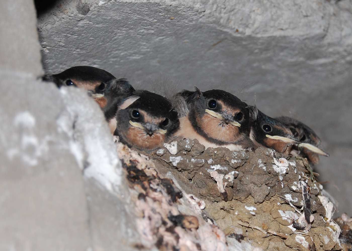 House Martins New Neighbours - but not for long!